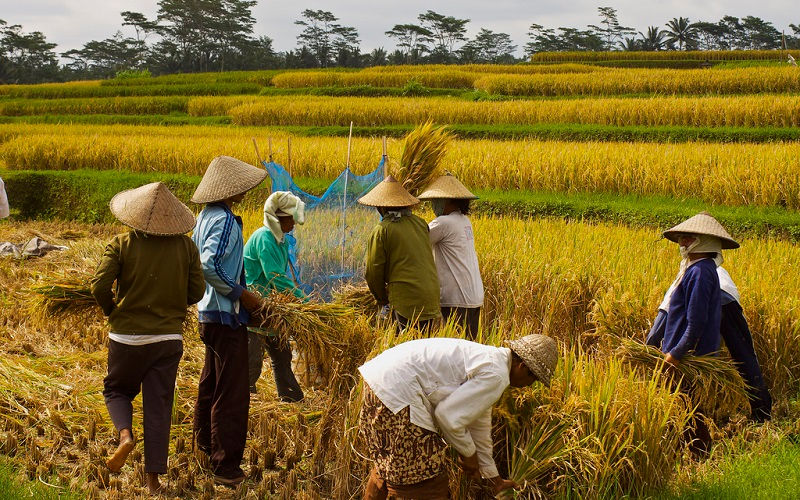 The Story of Rice-Harvest Festival